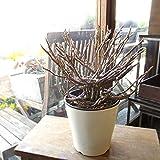 ゾンビプランツ ユーフォルビア プラティクラダ 5号鉢サイズ 鉢植え 薫る花 観葉植物 おしゃれ インテリアグリーン 小型 ミニ 柱サボテン カクタス 多肉植物 ゾンビ プラント 人気 希少