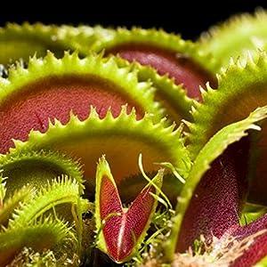 Balai ハエ捕り草 種 食虫植物 観葉植物 栽培 高い発芽率 園芸 室内 屋外 食虫植物 シード 50粒