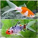 (国産金魚) おすすめ金魚セット(コメット 朱文金 各1匹) 本州 四国限定 生体