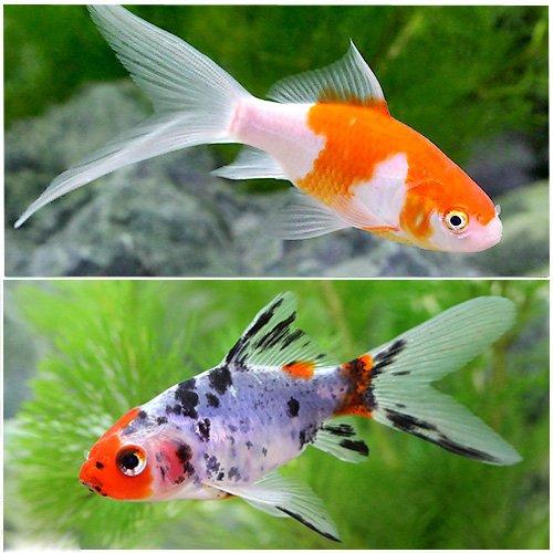 (国産金魚) おすすめ金魚セット(コメット+朱文金 各1匹) 本州・四国限定[生体]