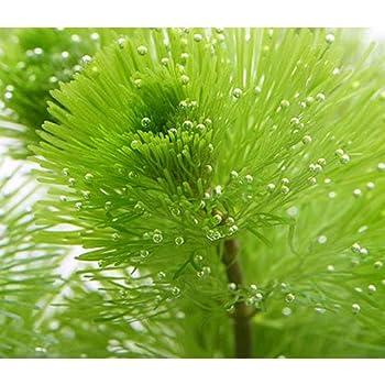 (水草)メダカ・金魚藻 カボンバ 鉛巻き(7~10本)(3個) 本州・四国限定[生体]