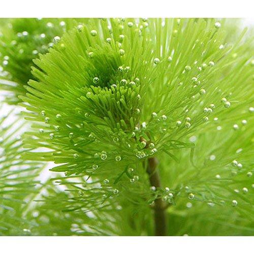 (水草) メダカ・金魚藻 カボンバ 鉛巻き(7~10本)(1個) 本州・四国限定[生体]