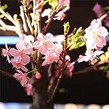 特選苗・庭木苗:河津桜(かわづさくら)2月頃に桃色の早咲き!