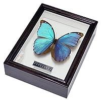美しい蝶の標本 名和昆虫博物館企画・製作 青く輝くメネラウスモルフォ(大)