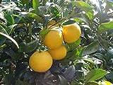 知る人ぞ知る!青木名人の 減農薬 ゴールデン オレンジ(黄金柑) 3kg
