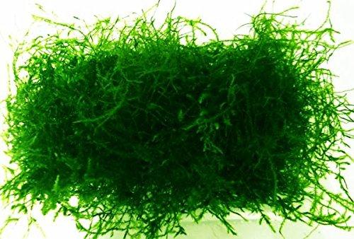 水草 ウィローモス 綺麗 フードパック一杯(横幅10cm*奥行8cm*深さ2cm ※発送時はパックなしで圧縮発送) 無農薬