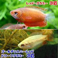 charm(チャーム) (熱帯魚)ゴールデンハニーレッド・ドワーフグラミー(3匹) + レッド・グラミー(3匹) 【生体】