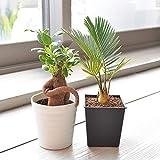 相武ガーデン 観葉植物 ガジュマル・ソテツ ミニ観葉2鉢セット(3寸プラスチック鉢)