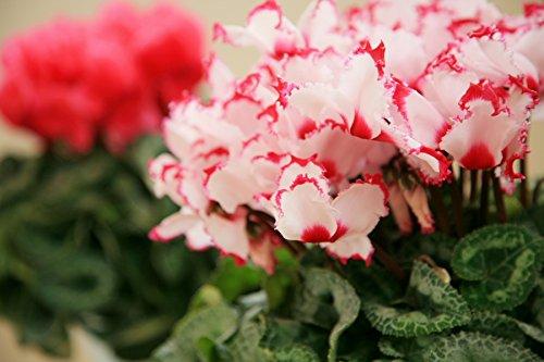 シクラメン5号鉢 ビクトリア 鉢植 フラワーギフト 花 冬ギフト 歳暮