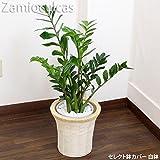 ザミオクルカス 75cm~85cm 白陶器鉢+白鉢カバー 生花 観葉植物