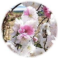 花桃 苗木 雲柳枝垂源平桃 18cmプラ鉢 はなもも 苗 ハナモモ