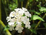 【6か月枯れ保証】【低木】コバノランタナ白 9.0cmポット