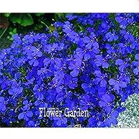 6:大プロモーション!100個/バッグロベリアの種子、盆栽の花の種、クリーパー、グランドカバークロロフィタムガーデン造園
