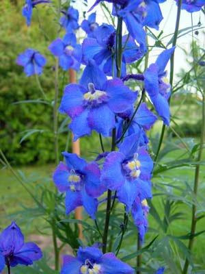 【PLANT】Delphinium belladonna Balaton デルフィニウム・ベラドンナ・バラトン・苗