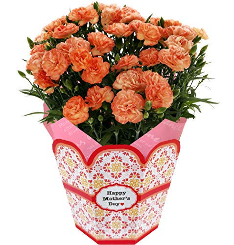 母の日 カーネーション 鉢植え フラワーギフト 5号鉢 (オレンジ)