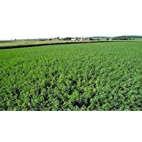Alfalfa Plot Seed 1 lb