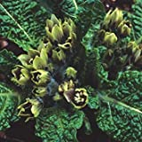 PLAT会社-SEEDS植物の世界の種子 - マンドラゴラOfficinarum(マンドレイク)種子