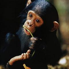 くらべてみよう!どうぶつの赤ちゃん〈4〉チンパンジー