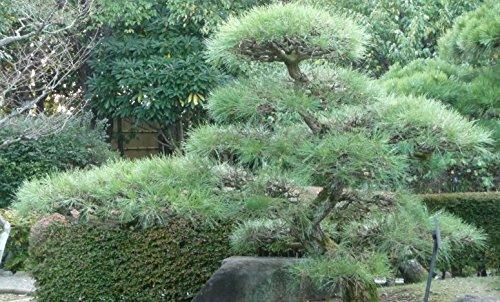 【松の種】クロマツ<黒松> [中国産] 種子20粒 Japanese black pine China 20 seeds
