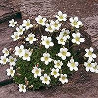 PLAT会社-SEEDS植物の世界の種子 - ユキノシタVayredana種子