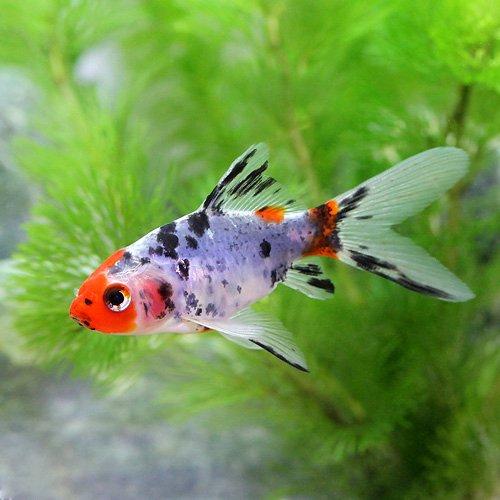 (国産金魚)朱文金(3匹) 本州・四国限定[生体]