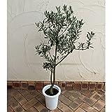 オリーブ:シプレッシノ7号鉢植え[樹形がきれいにまとまりガーデニング向き 大株] ノーブランド品
