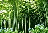 指示ホウライチク属Oldhamiiガーデンデコレーション植物と盆栽の新鮮なグリーン竹インベル竹の種子は、B50を100個