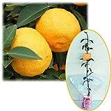 苗木ギフト:ユズ(柚子):本柚子[ホンユズ・大実ユズ]「特別なあなたへ」カード付[記念樹] ノーブランド品