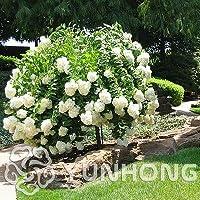 20個/パックアジサイパニクラータバニライチゴ植物ナチュリアアジサイメキシコラホームガーデン白い花盆栽植物:7