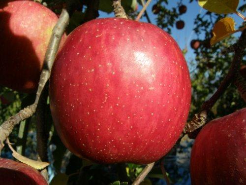 りんご 【幻のふじ】 信州松川町産サンふじ サイズ2L 10kg箱入(1個358g以上21〜27個入)
