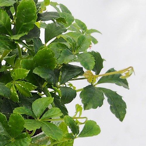 観葉植物 「シッサスシュガーバイン 」 インテリアグリーン 日比谷花壇