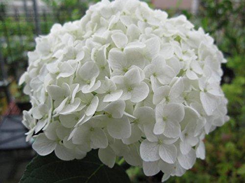 アナベル苗 紫陽花 白色アナベル