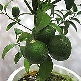 シークワーサー(ヒラミレモン)4~5号ポット[10~11月収穫 沖縄の柑橘・酢ミカン][果樹苗木] ノーブランド品
