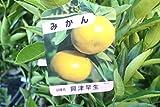 果樹苗 接木 みかん 興津早生 1年生 【送料込価格】