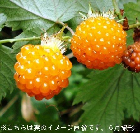 果樹苗:モミジイチゴ 9cmポット仮植え苗【紫桜館山の花屋】