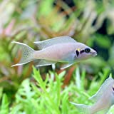 (熱帯魚)ネオランプロローグス・ブリチャージ(2匹) 本州・四国限定[生体]