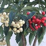 [実付き]万両(マンリョウ):夫婦長寿万両6号鉢植え[縁起の良い紅白寄せ植え] ノーブランド品