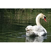 美しい白鳥の湖動物 - #43728 - キャンバス印刷アートポスター 写真 部屋インテリア絵画 ポスター 90cmx60cm