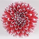 ダリア マキシ タンピコ 1株 宿根草 栄養系 毎年開花の宿根タイプのダリア