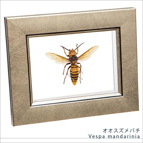 虫の標本 オオスズメバチ ライトフレーム メタリック調