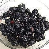 ブラック:100個ブラック桑種子Morus Nigra Treeガーデンブッシュ種子DIYホームガーデン盆栽 - (カラー:ブラック)