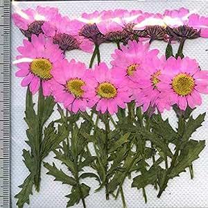 押し花パック 押し花素材材料 【ノースポール】葉茎付き 正面押し・横押しピンク】24輪入り
