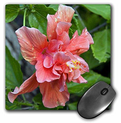 3drose LLC 8x 8x 0.25インチマウスパッド、ハイビスカス花、Antigua、西インド諸島、caribbean-ca03nto0084–Nico Tondini ( MP _ 72160_ 1)