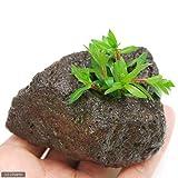 (水草)ニードルリーフ ルドウィジア(水上葉) 穴あき溶岩石付(無農薬)(1個) 本州・四国限定[生体]