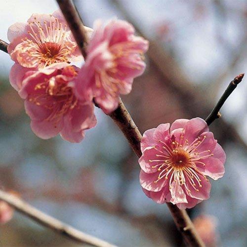 花梅の苗木 八重寒紅梅