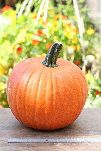 ハロウィンかぼちゃLサイズ(生カボチャ) 飾り南瓜 ジャック...