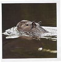 Danita Delimont–Wildlife–Capybara野生生物、Rewa川、ガイアナIwokramaフォレスト–sa11pox0108–Peteオックスフォード–グリーティングカード Set of 6 Greeting Cards