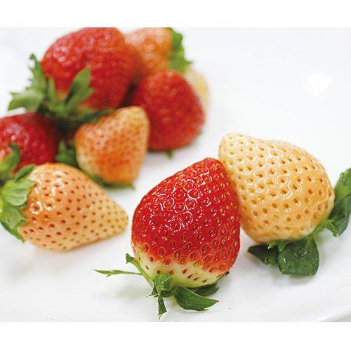 熊本県産 淡雪 & 福岡県産 あまおう 紅白セット 白イチゴと真っ赤なイチゴのセット (2パック (各1パックずつ))