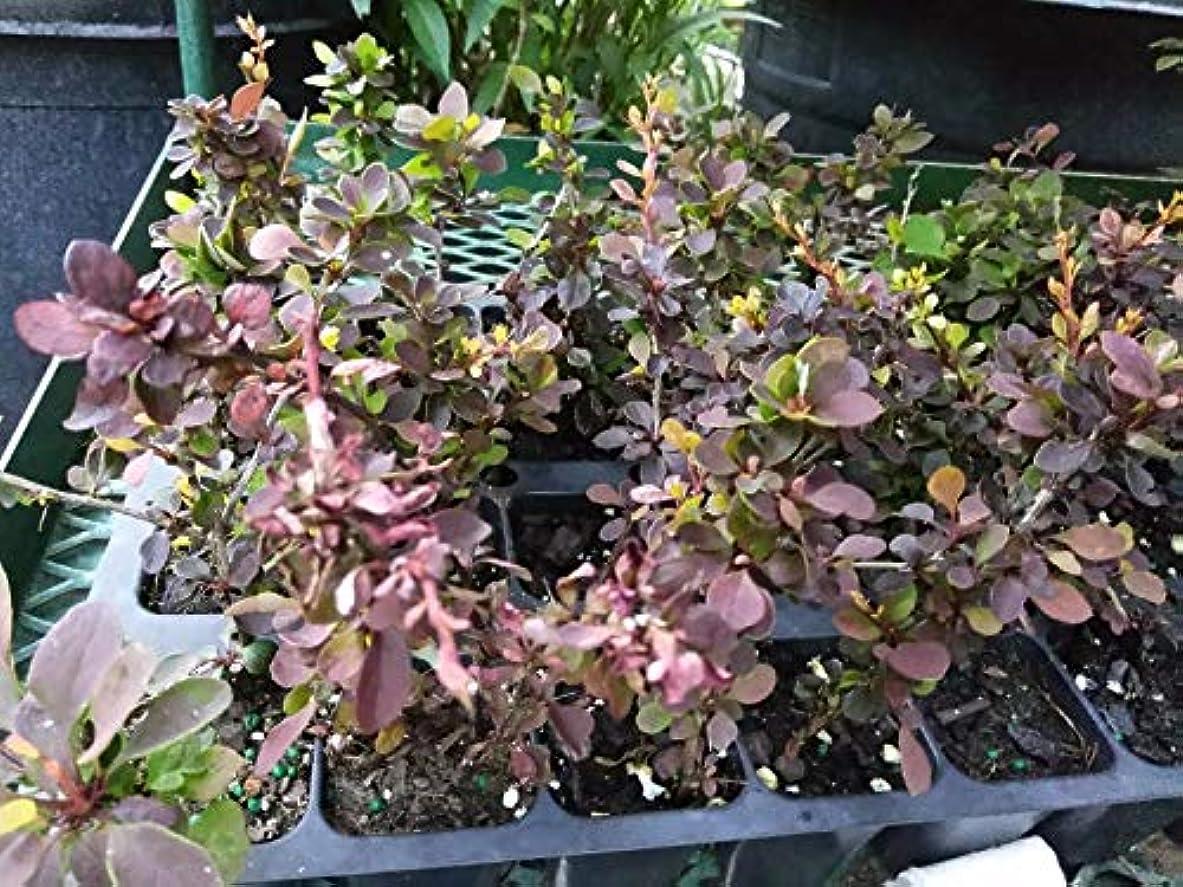 馬鹿歩くリーフレット- ROSY GLOW - 2つの植物 - 2