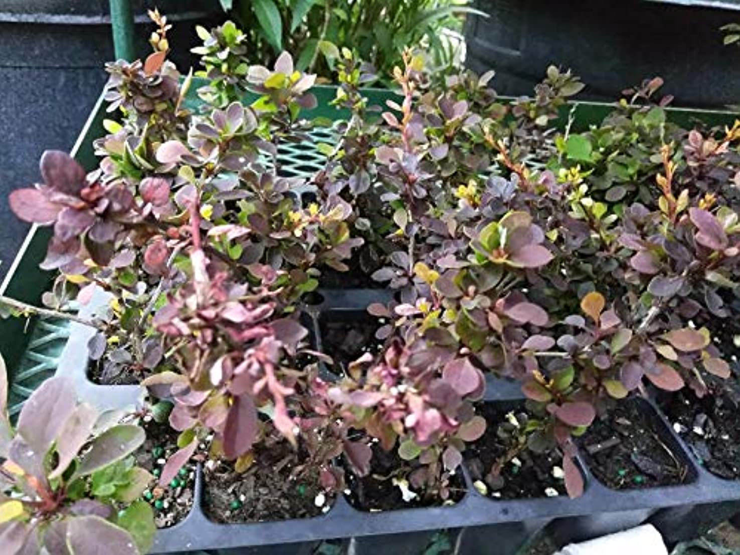 切り離す個性買い手- ROSY GLOW - 2つの植物 - 2